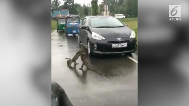 Menggemaskan, kelakuan dua ekor biawak yang saling berpelukan di tengah jalan.