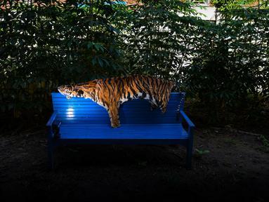 Barang bukti kulit harimau Sumatra terlihat di kantor konservasi satwa liar di Banda Aceh, Aceh, Rabu (12/12). Polisi menangkap seorang pria karena diduga membunuh harimau Sumatra dan mencoba menjual tubuh satwa dilindungi itu. (CHAIDEER MAHYUDDIN/AFP)