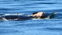 Doc: Ken Balcomb / Center for Whale Research