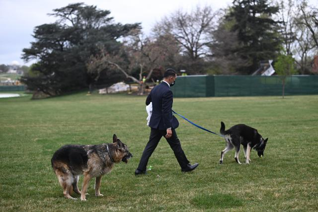 Anjing Presiden Joe Biden, Champ (kiri) dan Major terlihat di South Lawn Gedung Putih di Washington, Rabu (31/3/2021). Major kembali menggigit seseorang di Gedung Putih, hanya beberapa hari setelah kembali dari pelatihan di Delaware menyusul insiden serupa awal bulan ini. (Mandel Ngan/Pool via AP)