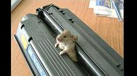 Kasihan tikus kecil ini. Ia tak bisa melarikan diri, tubuh bagian tengahnya terjepit di mesin cetak kertas atau printer.