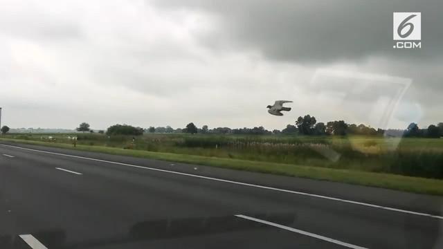 Seekor burung merpati terbang dengan kecepatan 100 km/jam di sebuah jalan tol. Burung ini bahkan mampu melewati banyak mobil yang melintas.