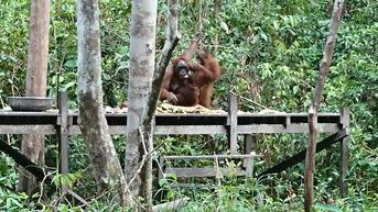 Orangutan Kalimantan Bisa Bebas Kembali Setelah 4 Tahun Diperlakukan Kejam oleh Pemiliknya