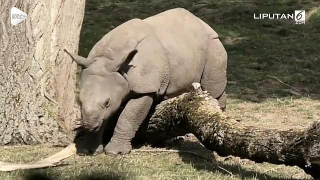 Ada-ada saja yang dilakukan bayi badak di Kebun Binatang Chester, London, demi mendapatkan perhatian sang induk. Ia pura-pura terjebak di salah satu pohon tumbang.