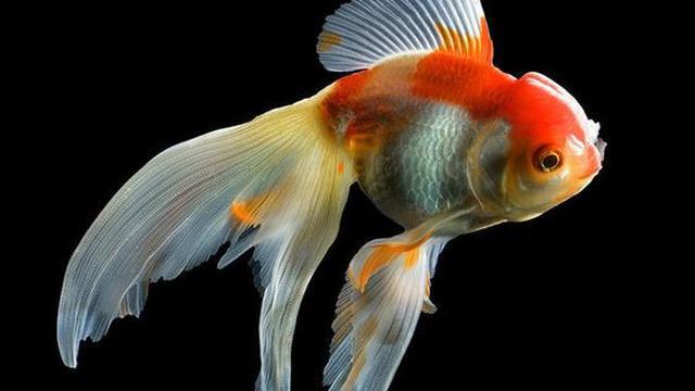 Ilustrasi Ikan Mas Koki Tamasaba (Foto: fineartamerica.com/pinterest)