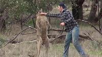 Usai Taklukkan Anjing, Kangguru Tantang Adu Tinju dengan Pemburu