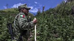 Seorang tentara Meksiko saat mmengecek perkebunan ganja ilegal di kotamadya Cosala, negara bagian Sinaloa, Meksiko Meksiko (2/10/2019). Tentara Meksiko menemukan permukaan total 30.000 meter persegi perkebunan ganja. (AFP Photo/Rashide Frias)