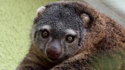 Induk kuskus beruang Sulawesi yang lahir pertama kalinya di penangkaran kebun binatang Wroclaw di Polandia, Selasa (5/6). Staf kebun binatang belum memiliki kesempatan melihat lebih dekat untuk mengetahui jenis kelamin anak kuskus itu. (AFP/Wroclow Zoo)