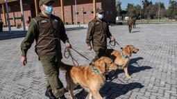 Anggota kepolisian Chile berjalan bersama dua ekor anjing Golden Retriever sebelum sesi latihan selama presentasi kepada pers di Santiago, Selasa (14/7/2020). Anjing itu dilatih untuk mendeteksi mereka yang mengidap covid-19 dengan mencium bau keringatnya. (Martin BERNETTI/AFP)