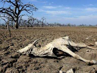 Bangkai binatang ternak  di Agropil dekat dengan sungai Pilcomayo yang mengering, Boqueron, perbatasan Paraguay dan Argentina, (3/7). Daerah ini sedang menghadapi musim kekeringan terburuk dalam dua dekade terakhir. (REUTERS / Jorge Adorno)