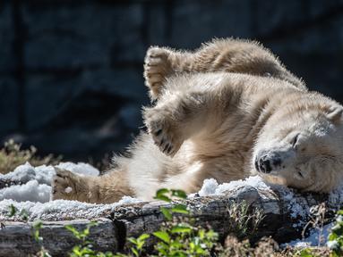 Beruang kutub Tonja mandi es yang disiapkan penjaga kandang Kebun Binatang Tierpark saat gelombang panas melanda Eropa, Berlin, Jerman, Selasa (7/8). (Paul Zinken/dpa/AFP)