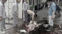 Sekelompok TKA Cina, tertangkap kamera membantai seekor buaya di areal pabrik smelter pertambangan di Morosi, Kabupaten Konawe.(Liputan6.com/foto warga)