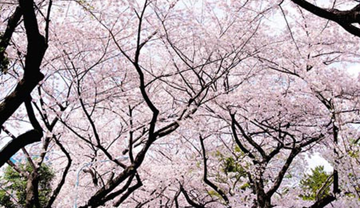 Download 450 Koleksi Wallpaper Cantik Bunga Sakura Gratis