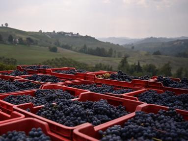Keranjang berisi anggur Nebbiolo terlihat selama panen di Laghe Country side dekat Turin, Italia (14/9/2019). Anggur Nebbiolo tersebut digunakan untuk membuat wine Barolo. (AFP Photo/Marco Bertorello)