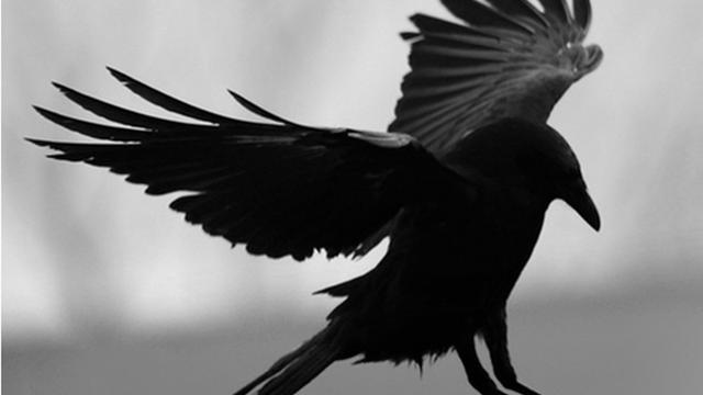 1010+ Foto Gambar Burung Gagak Terbang HD Terbaru Free