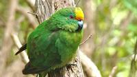 Burung parkit berpipi oranye yang semakin langka populasinya (AFP)