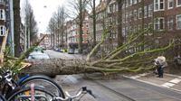 Sebuah pohon di Amsterdam, Belanda, tumbang akibat terjangan badai yang mencapai 140 km/jam pada 18 Januari 2018. (AP Photo/Peter Dejong)