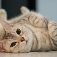 Kucing liar atau tanpa pemilik diambil dan dibilang mau diadopsi, padahal kucing tersebut malah dipotong lalu dijual secara online. (Foto: The Spruce)