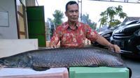 Warga menunjukkan ikan Arapaima yang berhasil ditangkap warga (Times Indonesia/Istimewa)