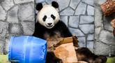 Panda raksasa (ailuropoda melanoleuca) bermain kardus dan gentong di Kebun Binatang Moskow, Rusia, Sabtu (13/7/2019). (Kirill KUDRYAVTSEV/AFP)