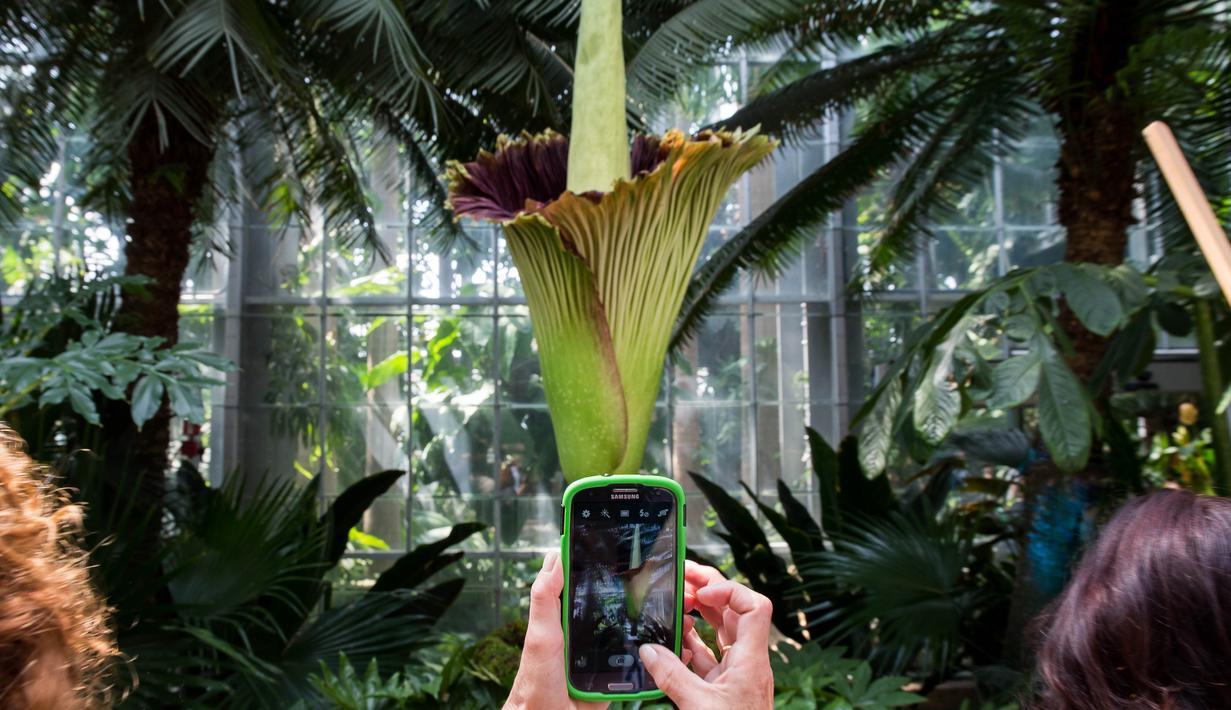 Seorang turis mengambil gambar bunga bangkai raksasa Titan Arum di Botanic Garden, Washington, Amerika Serikat, Senin (2/8). Bunga bangkai raksasa dari Sumatera, Indonesia ini tak lama lagi akan mekar sempurna. (Zach GIBSON/AFP)
