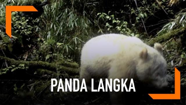 Seekor panda langka raksasa berkulit putih terekam kamera berkeliaran di Taman Nasional Wolong, China. Kemunculan ini adalah yang pertama kali sepanjang sejarah.