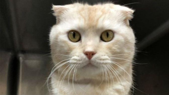 Kucing Scottish Earfold (kredit: Kantor Inspeksi dan Kesehatan Hewan Kota Taipei)