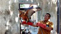 Elang Jawa ditemukan tersesat di pekarangan rumah warga Banyumanik, Semarang. (Foto: Liputan6.com/BKSDA Jateng/Muhamad Ridlo)