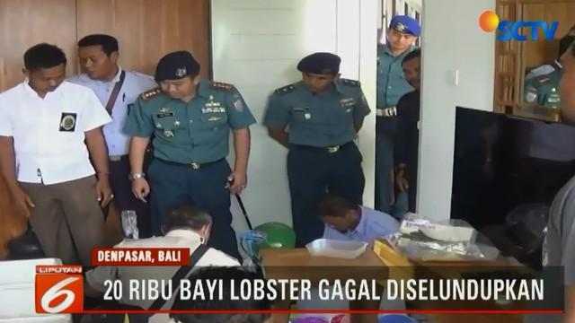 Jajaran TNI Angkatan Laut Lanal Denpasar berhasil menggagalkan penyelundupan 20.000 ekor bayi lobster senilai lebih dari Rp 20 miliar.