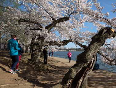 Warga AS Menikmati Bunga Sakura di Tengah Pandemi Corona
