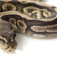Kotoran ular ternyata bisa menjadi peluang usaha yang menjanjikan. (foto : Sumber Shutterastock via content-loop.com)