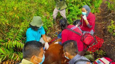 Dilema Boncel Si Orangutan, Korban Habitat yang Dibabat