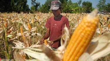 Ilustrasi harga jagung
