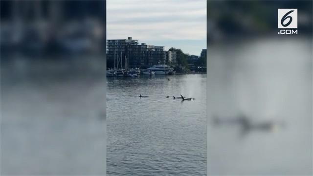 Lima kawanan paus pembunuh berenang mendekati kapal di Pelabuhan Victoria.