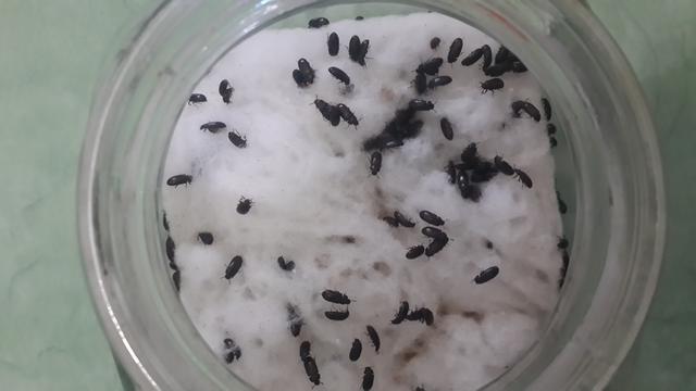 cara budidaya semut jepang vs diabetes