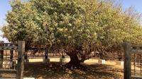 "Potret pohon Sahabi, ""sahabat"" Rasulullah yang masih hidup hingga kini. (Sumber: YouTube/Sabeel Travels UK)"