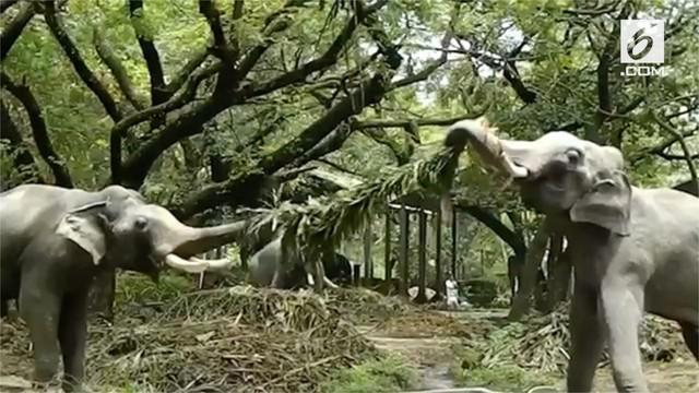 Aksi dua anak gajah di sebuah biara di India saat berebut dahan pohon palem bikin warganet gemas.