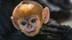 Gambar yang diambil pada 2 Oktober 2019 memperlihatkan monyet jantan jenis Francois Langur yang baru lahir berada di dekat induknya di Kebun Binatang Taronga, Sydney. Salah satu bayi monyet paling langka di dunia itu biasanya lahir dengan rambut oranye terang. (Rick Stevens/TARONGA ZOO/AFP)