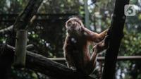 Primata beraktivitas dalam kandangnya di Taman Margasatwa Ragunan, Jakarta Selatan, Senin (20/4/2020). Satwa-satwa di Taman Margasatwa Ragunan terlihat lebih tenang sejak penutupan lokasi mulai 14 Maret untuk mencegah penyebaran virus corona COVID-19. (Liputan6.com/Faizal Fanani)