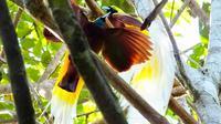 Banyak syarat yang harus diikuti agar bisa menyaksikan keindahan si burung surga, cenderawasih, langsung di sarangnya, di pedalaman Tambrauw, Papua Barat. (dok. Kementerian Pariwisata/Dinny Mutiah)