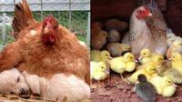 Kelakuan ayam (Sumber: Brightside)