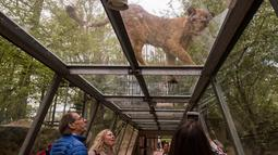 Seekor singa muda melihat pengunjung yang berada diterowongan di Thoiry Zoo and Park, di Thoiry, Prancis (23/4). (AFP Photo/Lionel Bonaventure)