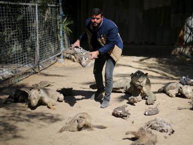 Pemilik kebun binatang di Jalur Gaza, Mohammed Oueida memperlihatkan binatang yang mati mengering akibat perang yang terjadi di kawasan tersebut selama tahun 2014, Palestina, Senin (7/3/2016). (Reuters/ Ibraheem Abu Mustafa)