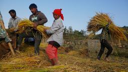 Para petani Nepal memanen padi di Chaukot, pinggiran Kathmandu, Nepal (30/10). Pertanian adalah sumber utama makanan, pendapatan, dan pekerjaan bagi mayoritas orang di negara Himalaya ini. (AP Photo/Niranjan Shrestha)