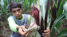 Petani binaan Ewindo memanen jagung saat Expo Nasional Cap Panah Merah di Jawa Barat, Jumat (5/5). Ewindo meluncurkan lima varietas unggul sayuran diantaranya Cabai BAJA F1 dan Tomat OPTIMA F1 yang tahan terhadap virus Gemini.(Liputan6.com/Istimewa)
