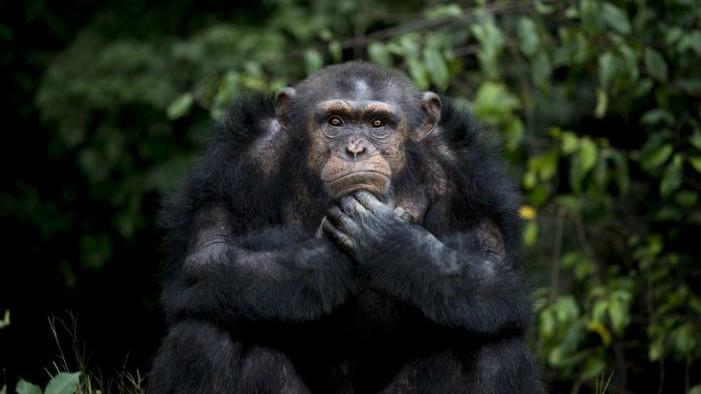 Ternyata manusia memiliki kepadatan rambut tubuh yang sama dengan simpanse (Reuters)