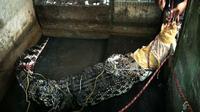 Buaya bekatak peliharaan Safaruddin akhirnya diserahkan kepada Balai Konservasi Sumber Daya Alam (BKSDA) Kalimantan Barat. (Liputan6.com/Raden AMP)