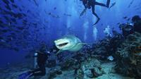 Menyelam bersama hiu banteng di Beqa Lagoon (Sumber foto: look4ward)