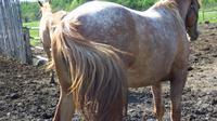 Ilustrasi bokong kuda. (Sumber Public Pictures Domain)