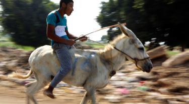 Seorang peserta memacu keledainya saat ambil bagian dalam lomba balap keledai di desa Al-Baragel, luar Kairo, Jumat (28/9). Sebanyak 35 keledai berpartisipasi dalam kompetisi tahunan yang berhadiah 5000 EGP atau sekitar 4 juta rupiah. (AP/Amr Nabil)